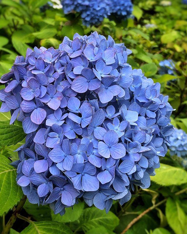 Fleur de pluie annonce la venue de Tsuyu 梅雨