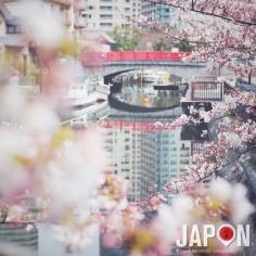 Demain on devrait atteindre les 80% de floraison des Sakura sur Tokyo !