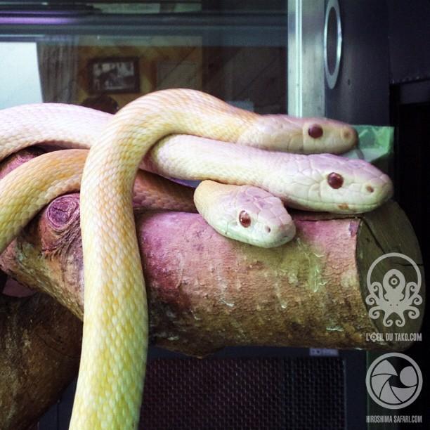 Les serpents blancs d'Iwakuni. Des potes à Orochimaru