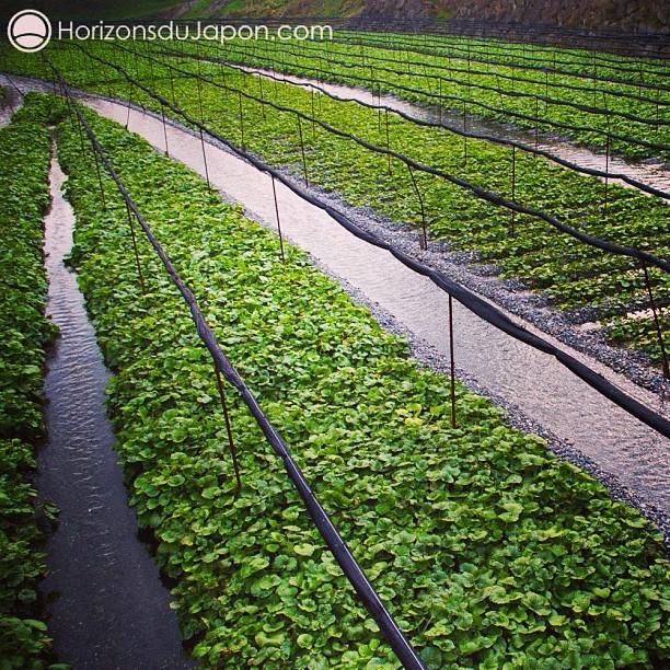 Voilà à quoi ressemble une plantation de wasabi