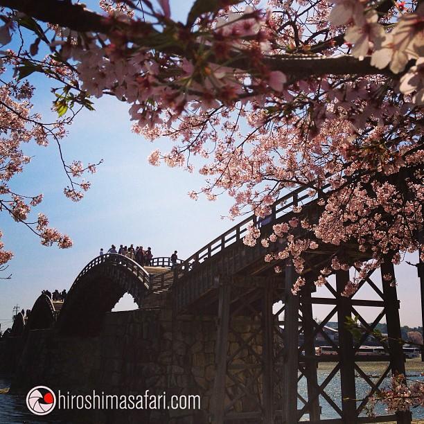 Le Kintai-Kyo, le fameux pont à 5 arches sous les sakura.
