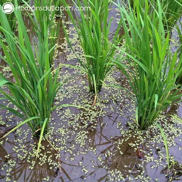 Gros plan dans une rizière