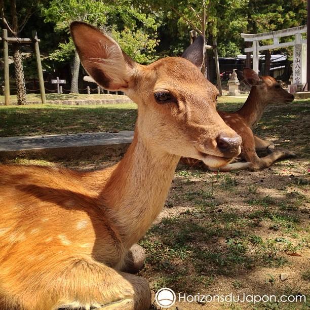 Les daims de Nara font toujours leur petit effet quand je guide
