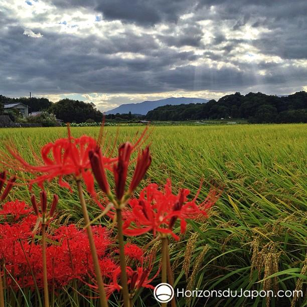 Spider Lily et rizière