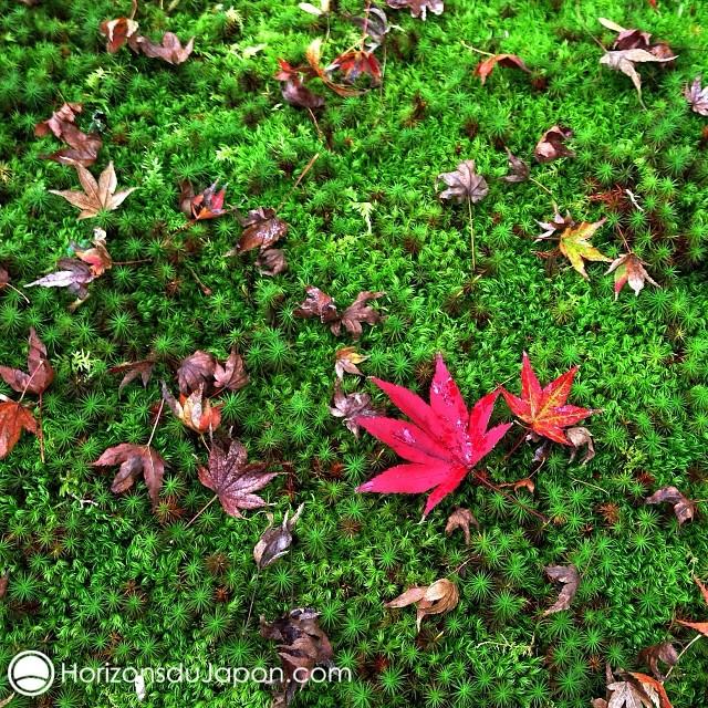 L'automne se dépose sur la mousse du Kokedera