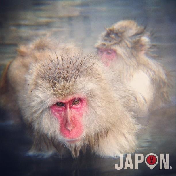 Aujourd'hui c'était onsen avec les singes à Nagano ! cc @sam1455