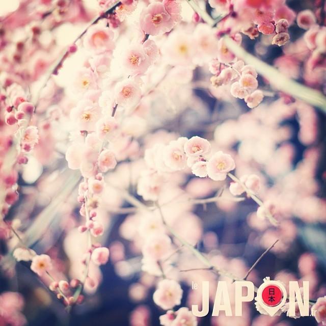 Les pruniers seront au top dans 1 semaine à Tokyo ! Bientôt les Sakura :)