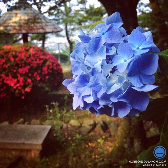 Transition saisonnière entre azalées et hortensias