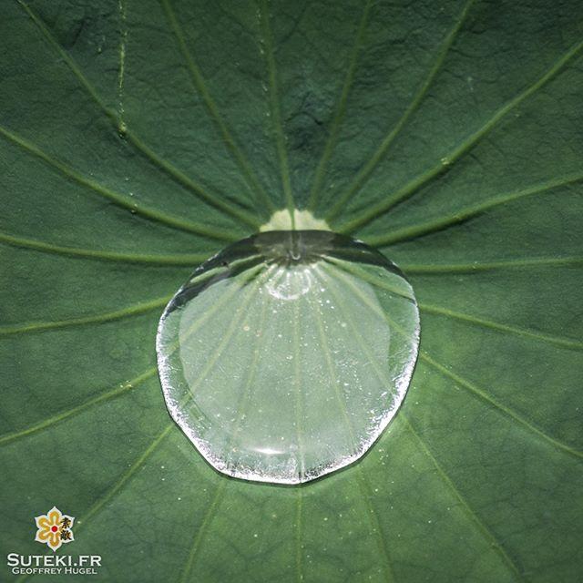 Les feuilles de lotus font de la rétention d'eau.