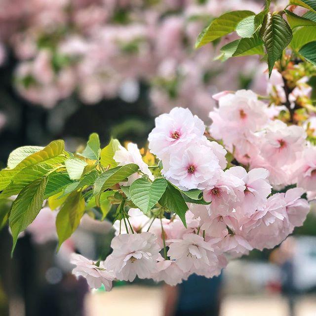 Place aux suivants #cerisiers #japon #osakasafari