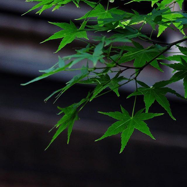 Vert tendre des érables de printemps  #osakasafari #japonsafari