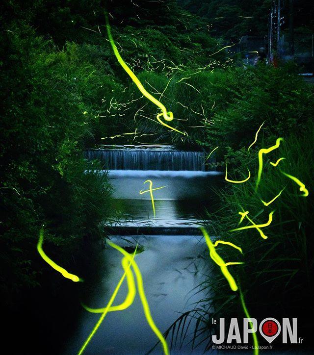 Otaru (luciole en japonais) mon ami ! On dirait qu'ils essaient de d'écrire quelque chose 🤔 #Otaru #lucioles #Japon #Izu