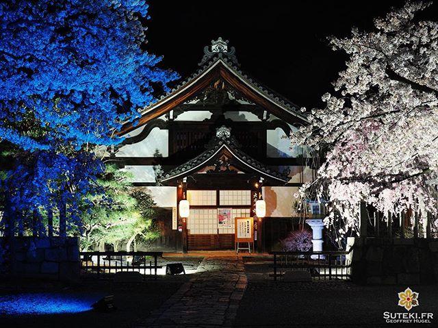 Cerisiers multicolores #japon #kyoto
