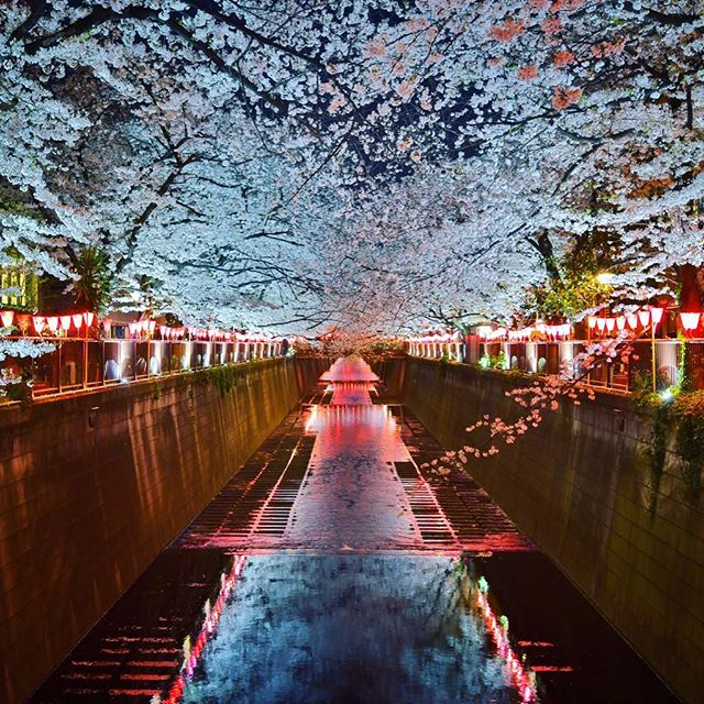 Nakameguro Sakura by Night 😱🌸🌸🌸 #Sakura #Tokyo #Nakameguro #TokyoSafari