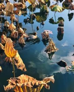 C'est l'automne dans les lotus
