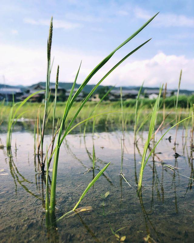 En ce moment c'est la période où l'on plante le riz ; les rizières sont alors inondées d'eau. Ensuite, la nature fait le reste.