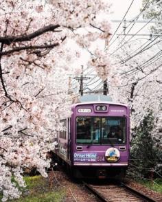 Suite et fin de la mini-série des trains sous les cerisiers ! Je suis allé rechercher des photos prises il y a quelques années et que je n'avais pas vraiment traitées à l'époque 😅 Dites-moi que j'ai bien fait de faire de la spéléologie dans mes disques durs ! 😂  Voici un spot assez méconnu, sauf des papys photographes japonais bien sûr ! 😅  Un «tunnel» de sakura le long des voies du tramway, c'est forcément très photogénique ! 📸  D'ailleurs, le conducteur ralentit exprès sur cette portion (uniquement pendant les cerisiers donc) pour que les passagers puissent admirer les fleurs ! C'est vraiment culturel quoi ! 😁  Prêts à vous frotter aux pépés japonais pour faire la photo ? 😬  #trains_worldwide #fromjapan #visitjapanjp #moodygrams #earthfocus #CreateExplore #TheWeekOnInstagram #goodtiming #hbouthere #嵐電桜のトンネル #嵐電電車