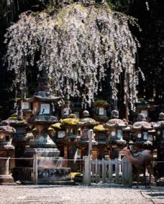 Un cerf dans magnifique sanctuaire aux innombrables lanternes, avec un non moins superbe cerisier dont les pétales s'envolent au gré du vent ! 😍  Que manque t'il pour que ce moment magique le soit plus encore ?! 🤩  Nan vraiment, il s'avère que je ne vais pas si souvent à Nara, mais je me suis bien rattrapé !  Pouvoir profiter d'un site aussi beau en étant presque seul, c'est une expérience que je ne suis pas prêt d'oublier ! 😎  Cette année j'aimerai l'explorer un peu plus, et plein d'autres endroits. J'ai pas mal d'idées et de projets, j'espère pouvoir les concrétiser ! 🤞 Restez dans le coin !  Bref ! Nara c'est très bien évidemment, racontez moi un peu vos expériences là-bas, ou dites moi tout simplement quelle photo vous préférez ! .  #traveltojapan #ishootraw #fujishooters #cherrytree #sakurablossoms #voyagejapon #fujifilmgfx50s #moodygrams #beautifuldestination #visitjapanjp